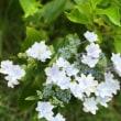 咲きほこる紫陽花