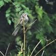 今日の野鳥   サシバ ・ (サシバの食材色々)  ・ ヒヨドリ