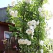 わが家のバラが綺麗です(^-^)