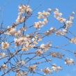 ヒマラヤザクラが咲きました