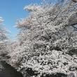 墓参りの通りがかりに 石神井川の桜