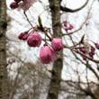 桜咲くにはまだ早かった