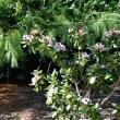 シャクナゲの返り咲き