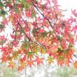 葉に模様のあるモミジ