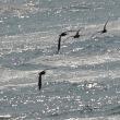 4/22探鳥記録写真-2:芦屋浜のチュウシャクシギ