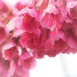 早春桜、寒緋
