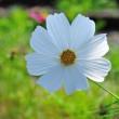 白いコスモスは純潔の証。 (Photo No.14088)