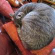 ソファのような猫ちゃん(*'ω'*)