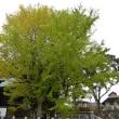 『葛飾八幡宮の千本公孫樹』紅葉は来週末辺りが見頃です@葛飾八幡宮