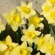道草写真:黄色い水仙