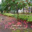淵野辺公園の桜、満開で見頃のも!