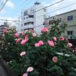 秋薔薇と都営荒川線/2018年11月