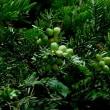 イヌガヤ 種子から油