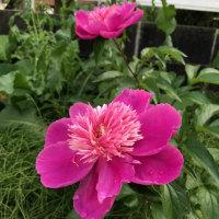 シャクヤクの花が咲きました