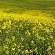 三の倉高原 菜の花