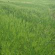 デュラム小麦の出穂