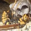 アシナガバチの巣作り