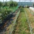 長ネギに肥料を入れました