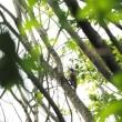 自然観察の森へ。(アオゲラ)