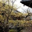 大蓮寺の蝋梅