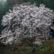 小川村で朝を迎える 立屋と番所桜