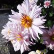我が家並びにご近所の菊の姿