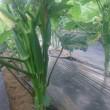 オクラ収穫始まる