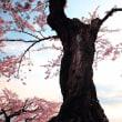 THE Japanese Sakura