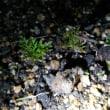 アネモネが芽を出しました♪