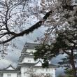 小田原の桜はまだかいな〜?