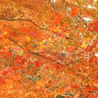 埼玉・嵐山渓谷の紅葉が見頃です。!!