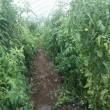 トマトの木を抜き始め