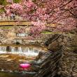 2018 見返りの滝ホタル橋の河津桜 《唐津市相知町》