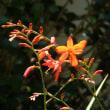 ヒメヒオウギズイセン(姫檜扇水仙)開花