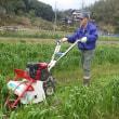 綿,藍,紅花などの種まきに備え、小麦の青刈り