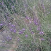 ティートリーの花/ラベンダー