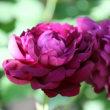 ☆咲いてきた庭バラは小輪 5/22
