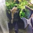 【魚】 ポリプテルス・エンドリケリー(ブリード:チビ)