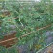 ソバージュ栽培のミニトマト、枝の誘因と整枝。