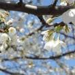 大島桜が、、満開に、、。