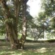 群馬県前橋市、大室公園のコナラです!!