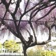 藤も八重桜も・・・