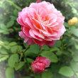 薔薇もうひとつ