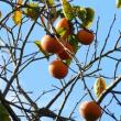 秋-ヒヨドリ、柿、コスモス
