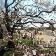 茨城県水戸市の偕楽園2019年の春・・梅花満開