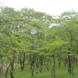 卯辰山とヤマボウシ