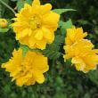 八重山吹(やえやまぶき)という花