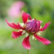 ダリアの花(Ⅱ)
