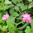 スイカズラ 黄色いお花? ママコノシリヌグイ (18-624)