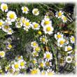"""春から初夏に咲く(^^♪逆境にあるものを激励する言葉に、""""カモミールの苗床のごとく、踏まれるたびに成長せよ""""とか 「カモミール」の花"""